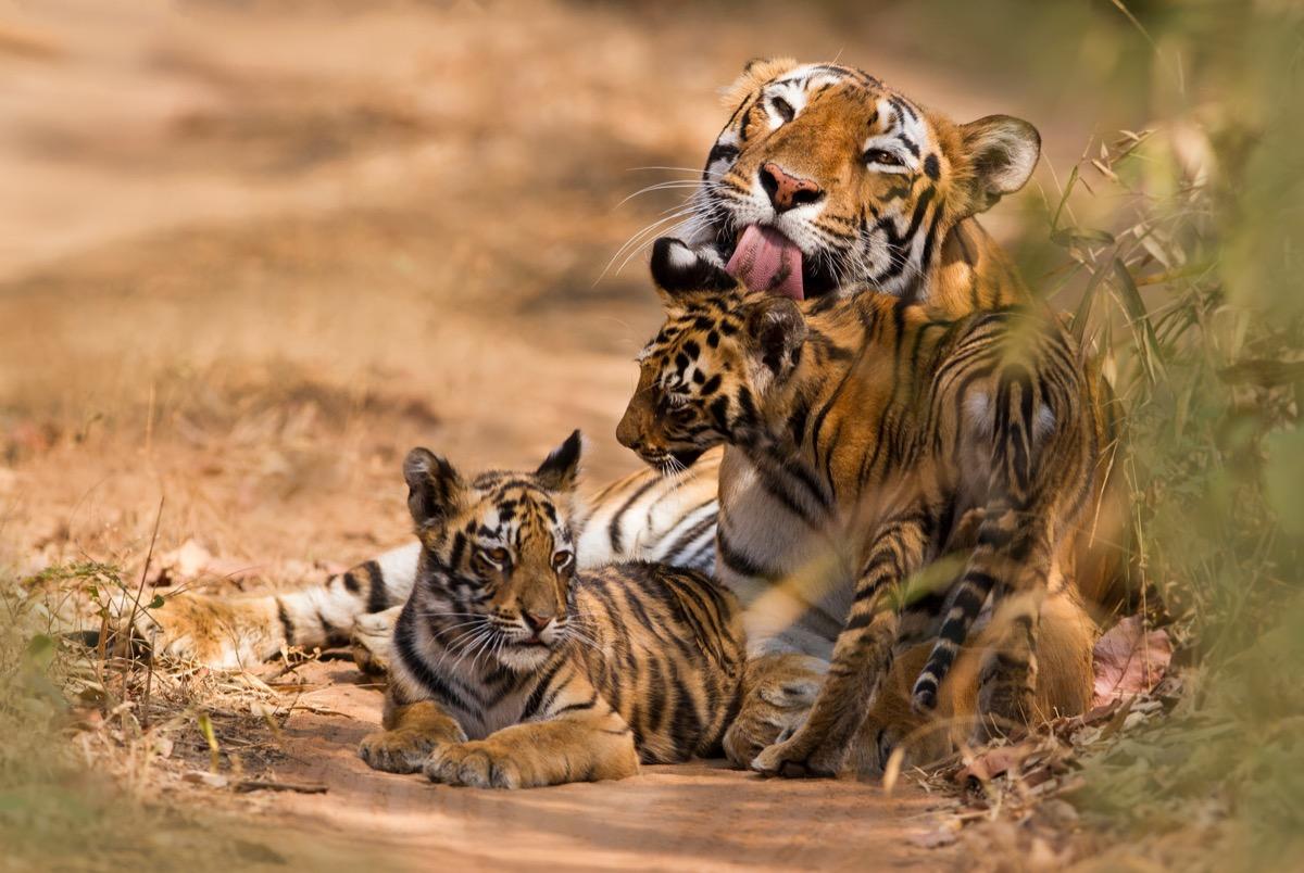 Royal Bengal Tiger and cubs