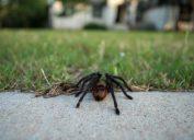 Low Angle View of Tarantula Walking Toward Home From the Street