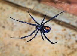black widow spider perched on web