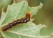 brown tail moth caterpillar on a leaf