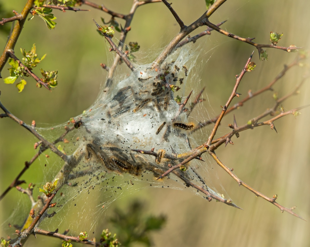 browntail moth cocoon on tree