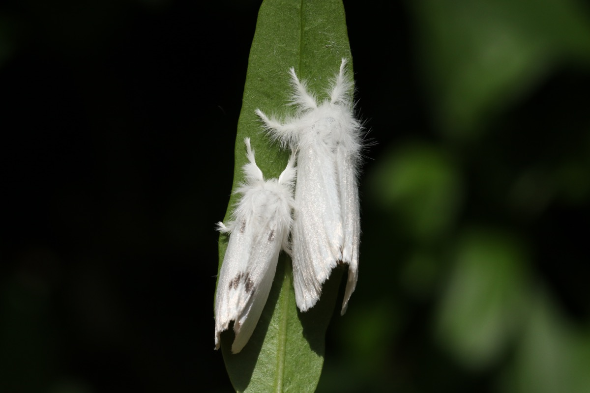 two browntail moths on a leaf