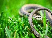 A garter snake sitting in a grassy yard
