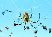 Nephila clavata, also known as the Joro spider, is a member of the golden orb-web spider genus.The spider can found throughout Japan except Hokkaido, in Korea Taiwan and China.South Of Korea 2017