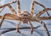 common huntsman spider close up