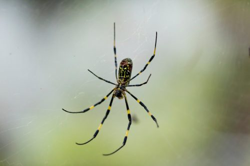"""""""Nephila clavata is a spider found in East Asia, and is a member of the golden orb-web group."""""""