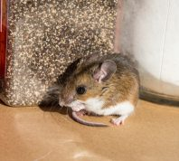 mouse on kitchen counter amid food jars