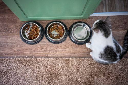 Domestic cat sitting next to food bowl at home