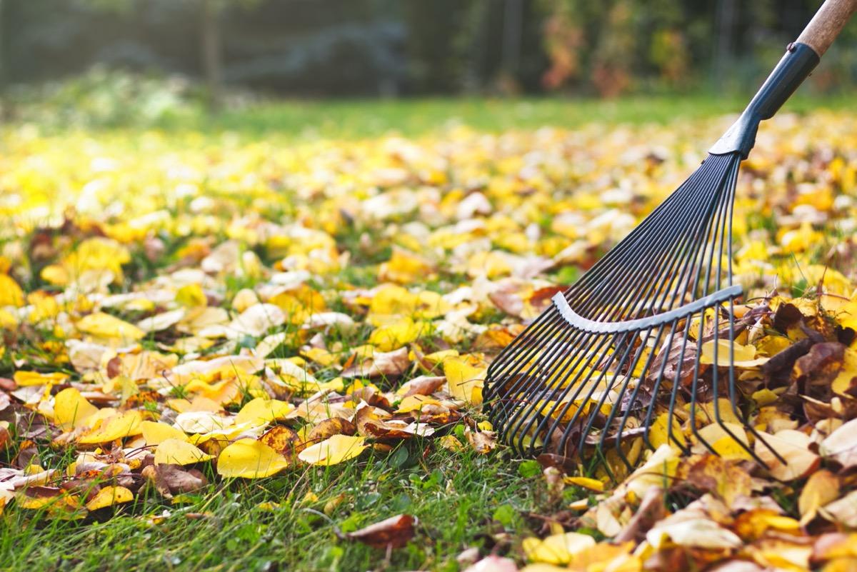raking leaves in a leaf-covered yard