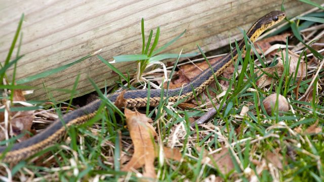 A black and yellow North American Garter snake slithering through the green grass.