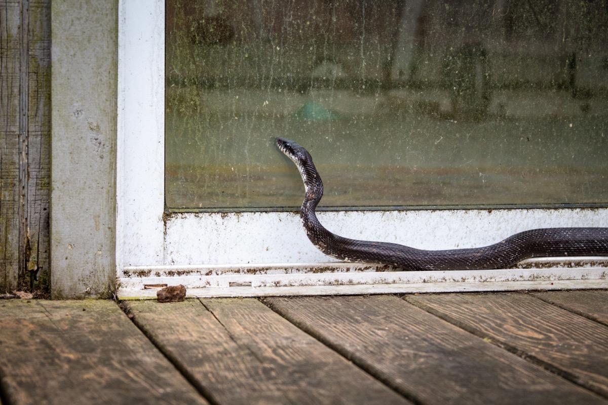 ular tikus hitam di luar pintu geser