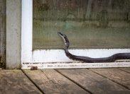 black rat snake outside sliding door