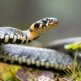 A grass snake moving through a yard