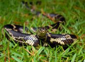 A snake hiding in the grass on a lawn or yard