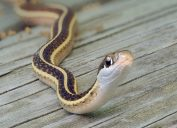 A close up of a snake sitting on a wooden deck