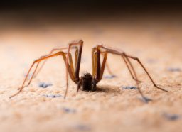 A large house spider sitting on the ground