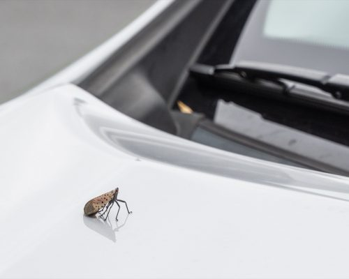 Spotted lanternfly on a car
