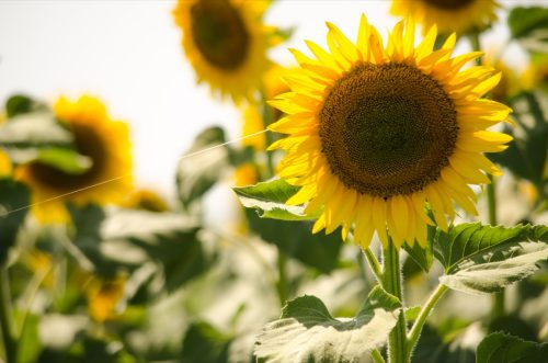 Sunflower with spider web