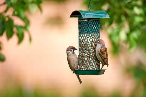 A photo of garden sparrow in summertime (Denmark)http://195.154.178.81/DATA/i_collage/pu/shoots/805173.jpg