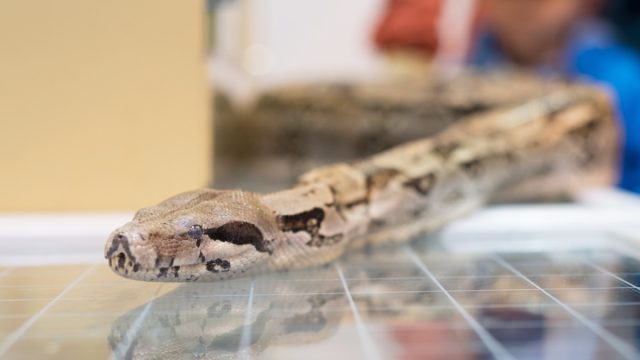 boa constrictor on tile surface inside home