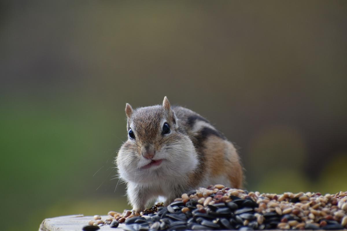 chipmunk eating birdseed on feeder