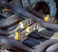 many yellow and black snakes in a pile