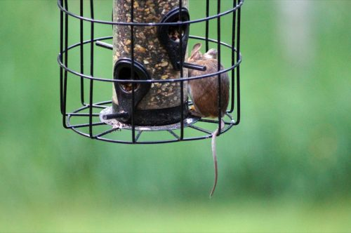 Small mouse in a hanging bird feeder