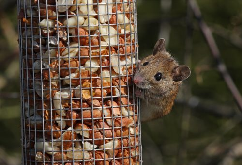 Wood Mouse (Apodemus sylvaticus) adult feeding at bird feeder Eccles-on-Sea, Norfolk March 2008