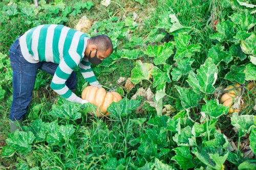 ardener in protective mask picking crop of pumpkins on vegetable garden in autumn. Concept of viral infection prevention or dust protection