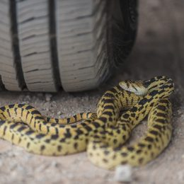 A snake coiled near the tire of a car