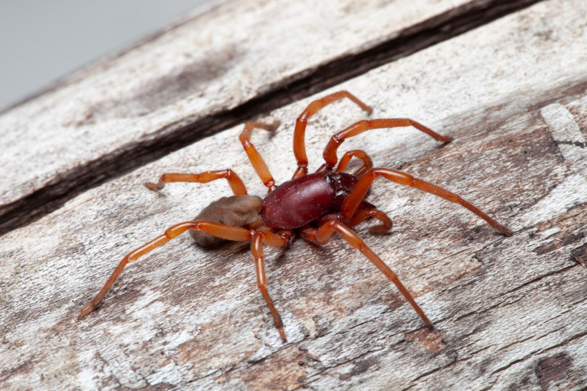 woodlouse spider or sowbug killer spider