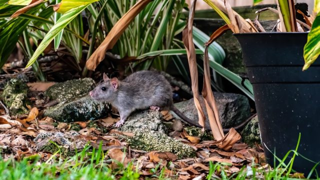 rat under a plant in an overgrown yard