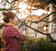 Young Woman in Orchard, Taking Care of Plants, Pruning Apple Trees in Sunset