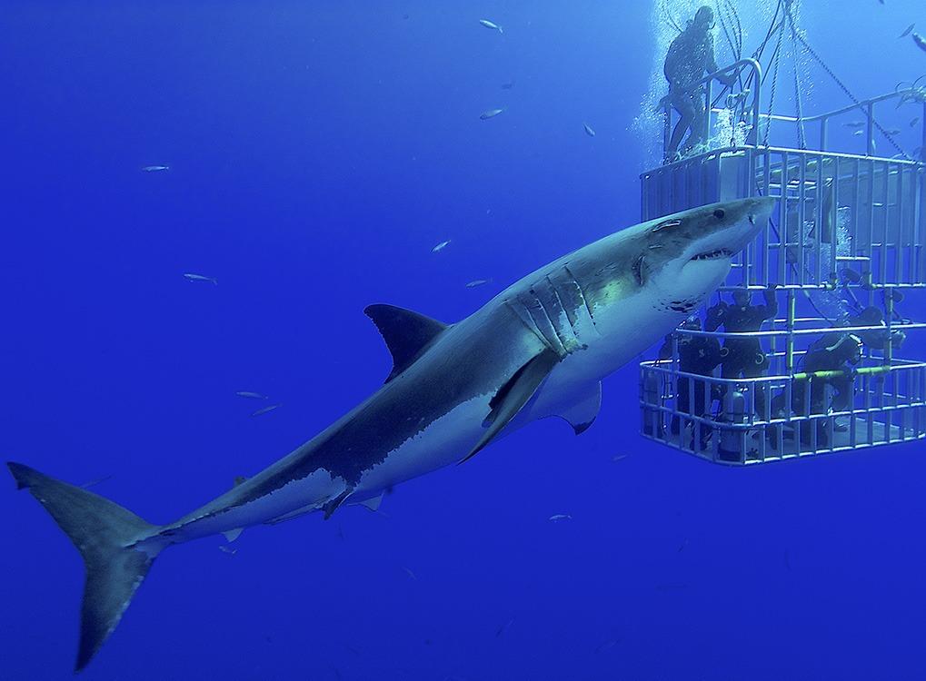 sharks with no predators