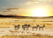 zebras on a safari